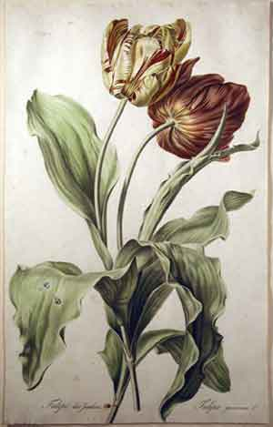 Gerard van Spaendonck Tulipe des Jardins